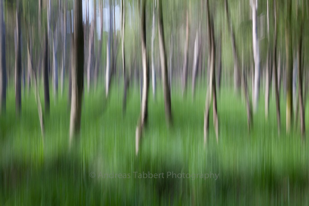 Blurred Birch